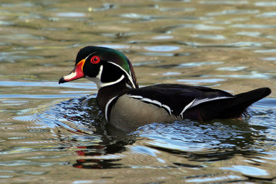 IMG_3844 Wood Duck male.jpg