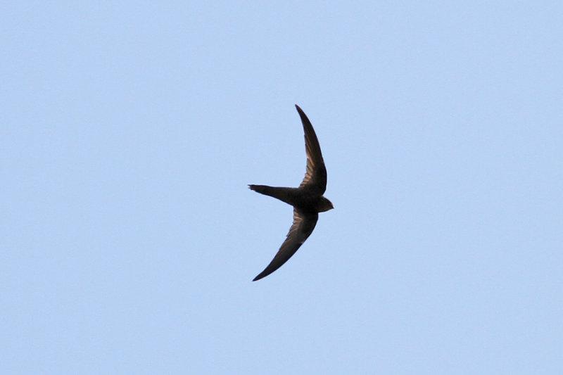 Plain Swift (Apus unicolor) - enfärgad seglare