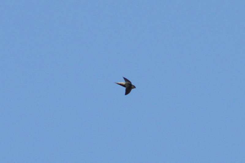 Gray-rumped Swift (Chaetura cinereiventris)