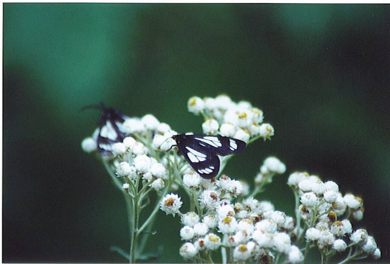black and white bfly.jpg