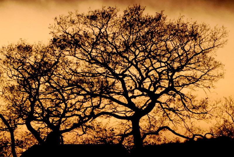 oaks in afterglow