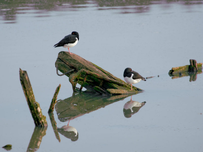 more oyster catchers, less boat