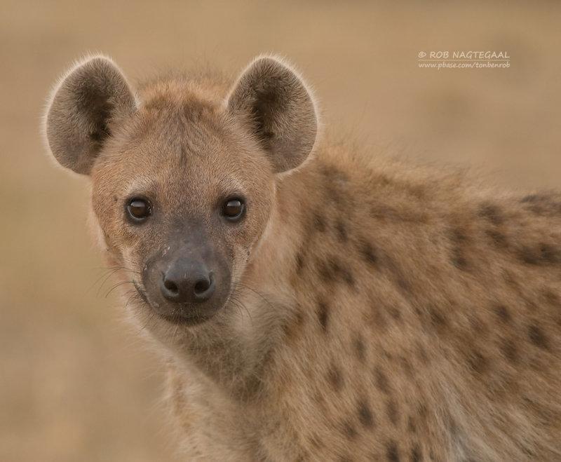 Spotted Hyena - Gevlekte Hyena - Crocuta crocuta