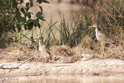 Senegalese Griel & Lelkievit - Senegal Thick-knee & African Wattled Lapwing - Burhinus senegalensis & Vanellus senegallus