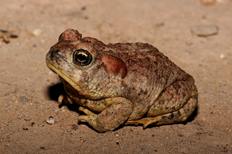 Arizona Toad