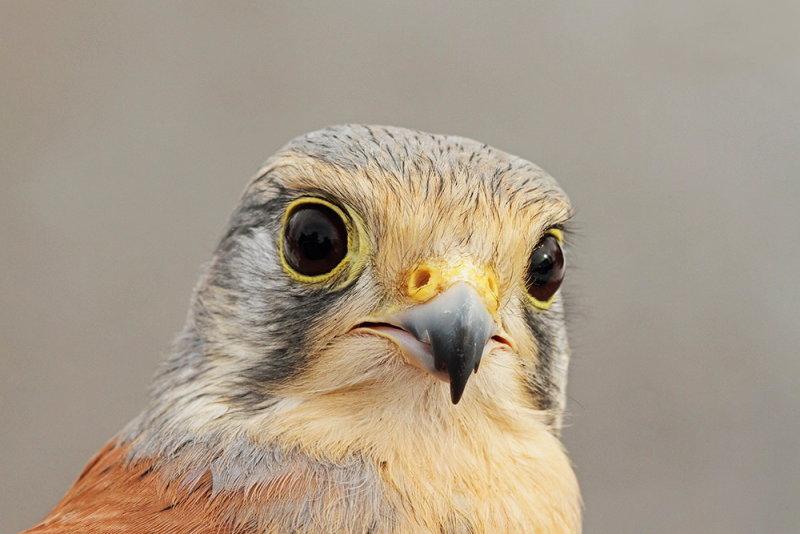 Common kestrel Falco tinnunculus navadna postovka_MG_0923-111.jpg