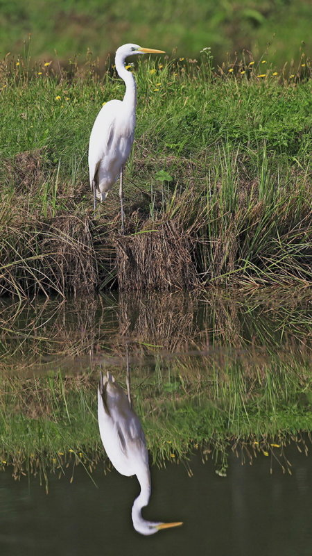 Great white egret Egretta alba velika bela čaplja_MG_1000-111.jpg