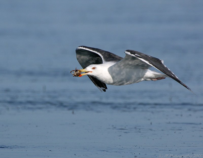 Black Back Gull With Crab in Flight