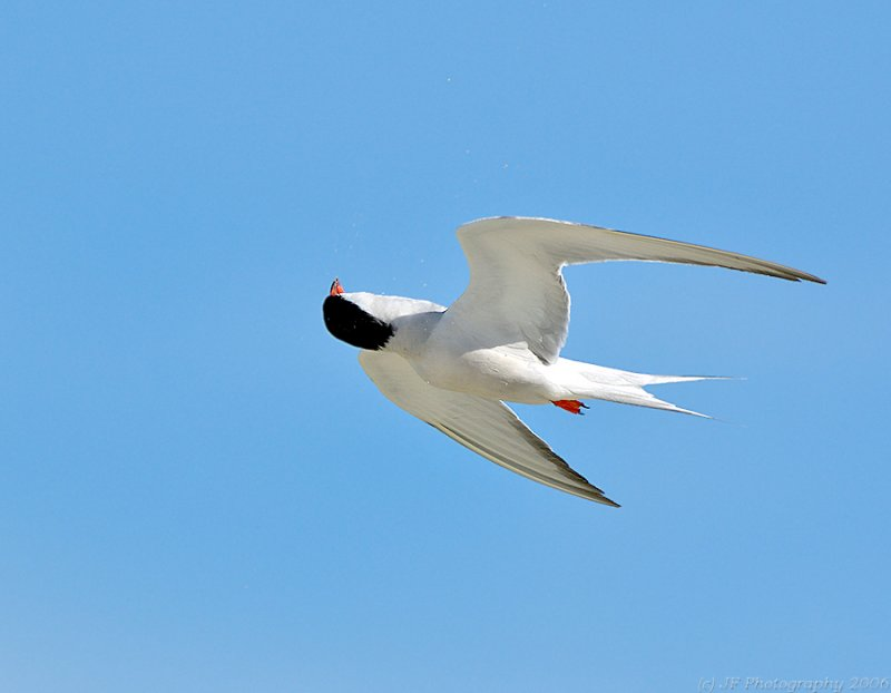 Common Tern Gyrations