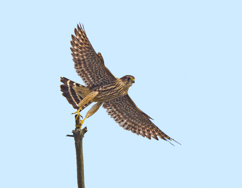 _JFF5950 Merlin Falcon Liftoff.jpg