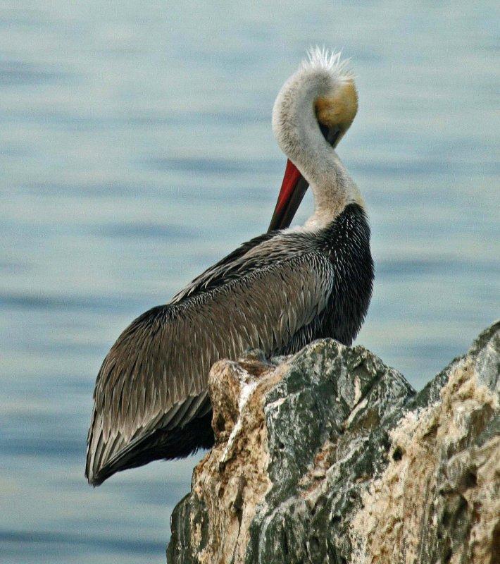 Pelican Twist