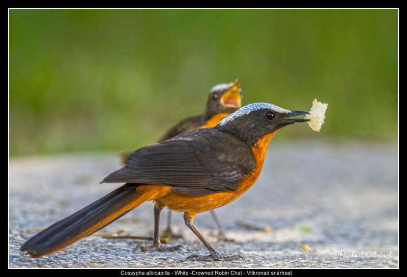 White Crowned Robin Chat
