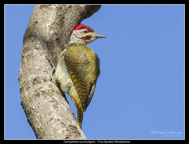 Fine Spotted Woodpecker