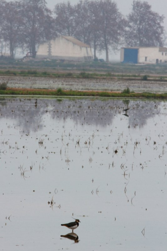 Tipical Landscape in winter with a Lapwing in a ricefield