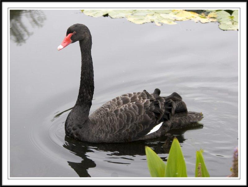 A handsom Black swan!