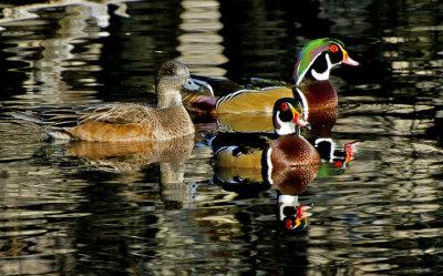 Wood Ducks and female American Widgeon