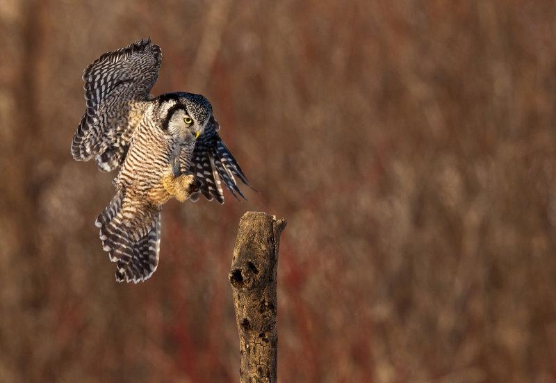 Chouette épervière (Northern Hawk Owl)