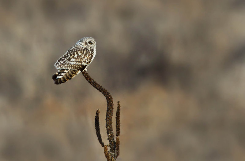 Hibou des marais (Short-eared Owl)