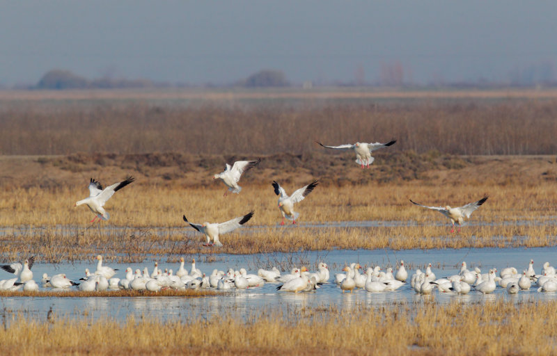 Rosss and Snow Geese, full-size picture