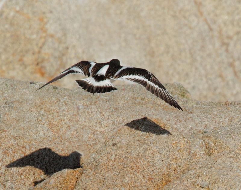 Black Turnstone, flying, dorsal view