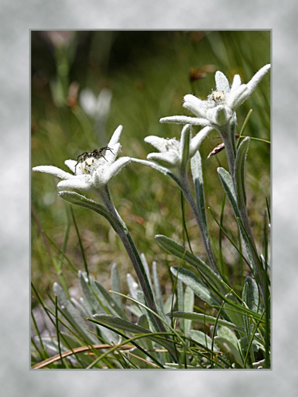 eidelweiss.jpg