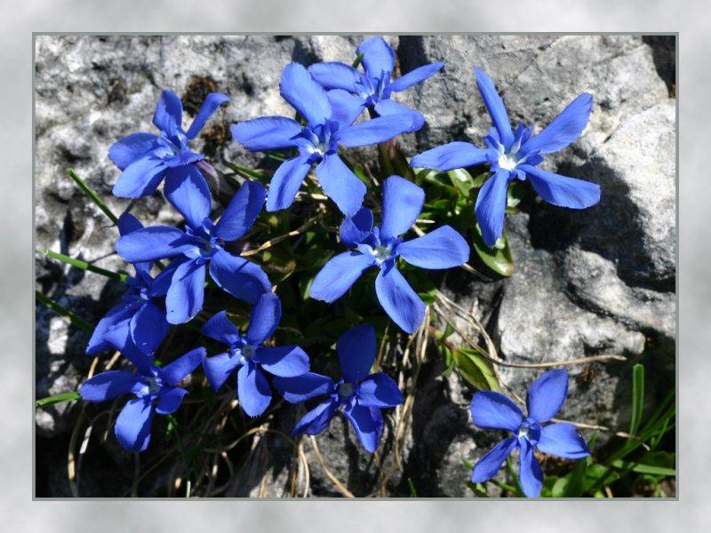 spring gentian 2.jpg