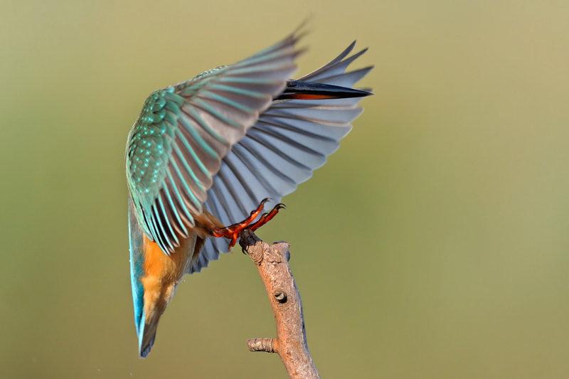 kingfishers - גמדי