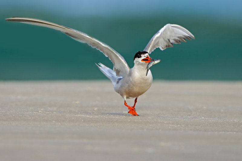 Common Tern - שחפית ים