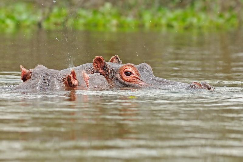 Hippo היפופוטם
