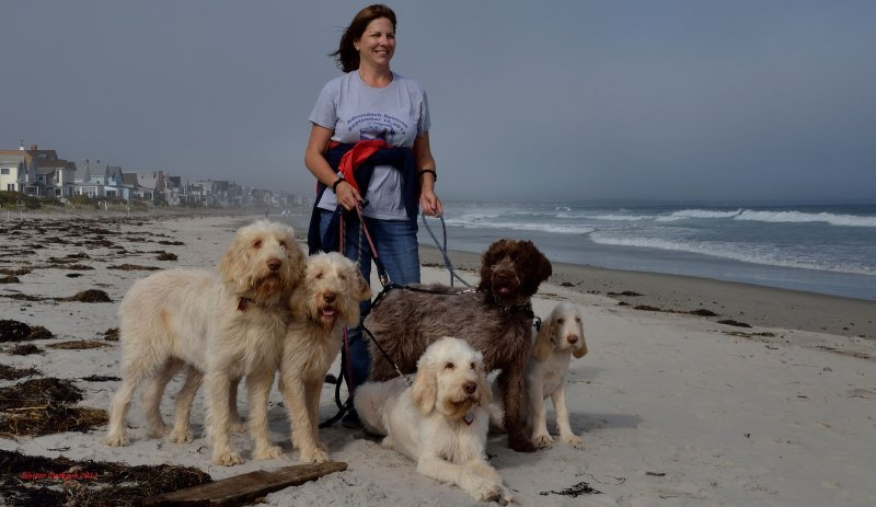 Lovely woman with her 5 well behaved Spinone dogs