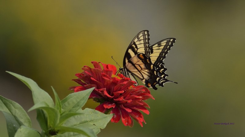 One of my favorite Tiger Swallowtail for   2012