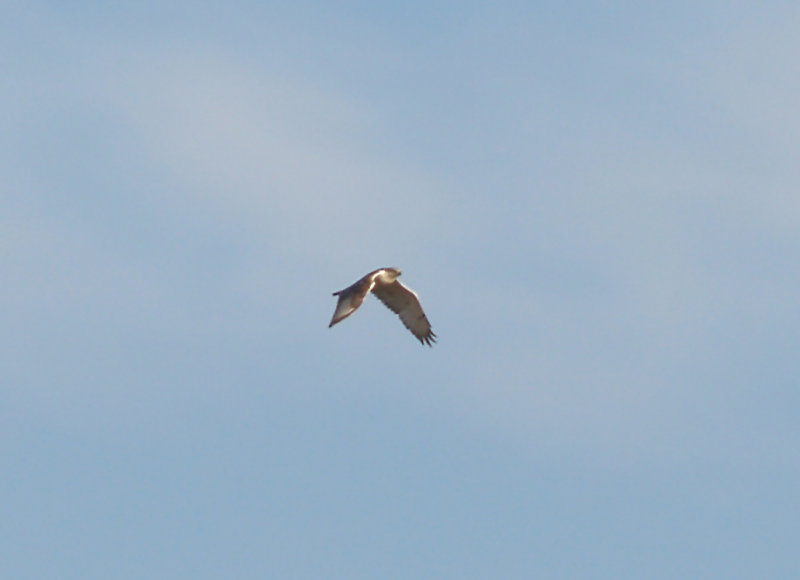 Ferruginous Hawk - 11-10-2012 - immature - head - Bogota WMA.