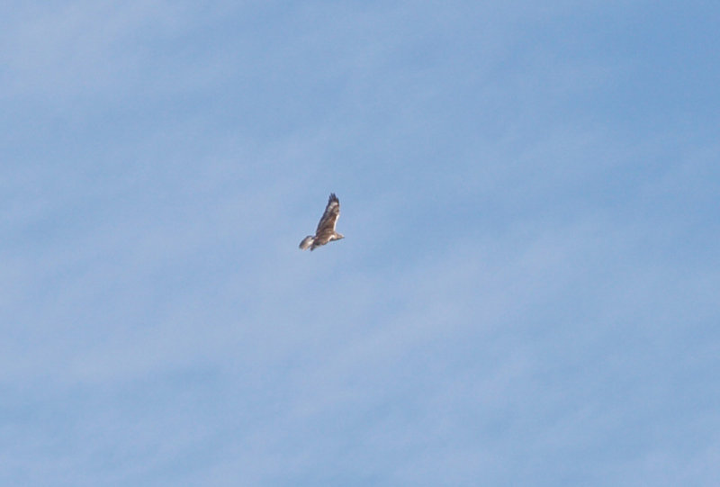 Ferruginous Hawk - 11-22-2012 - immature - Buck Island Road - Tunica Co. MS -