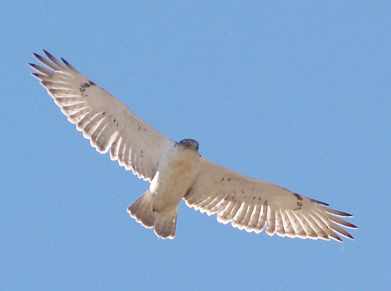 Ferruginous Hawk - 11-24-2012 - immature - Hwy 67 AR -