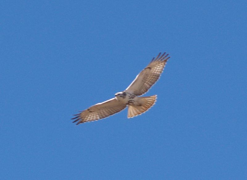 Red-tailed Hawk - 11-24-2012 - immature Kriders intergrade -