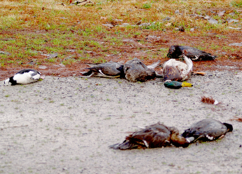 Waste of Ducks - 12-9-2012 - Obion Co. TN.