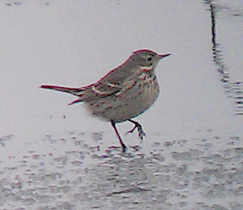 American Pipit - 12-26-2012 - Ensley - Frosty Toes