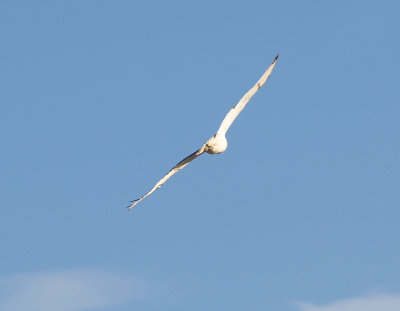 Ferruginous Hawk - 11-10-2012 - immature - Bogota WMA -