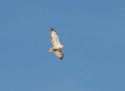 Ferruginous Hawk - 11-10-2012 - immature - distended crop - Bogota WMA.