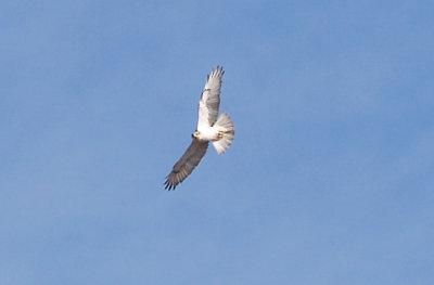 Ferruginous Hawk - 11-22-2012 - immature - Buck Island Road - Tunica Co. MS.