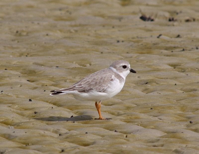 4877 - Piping Plover