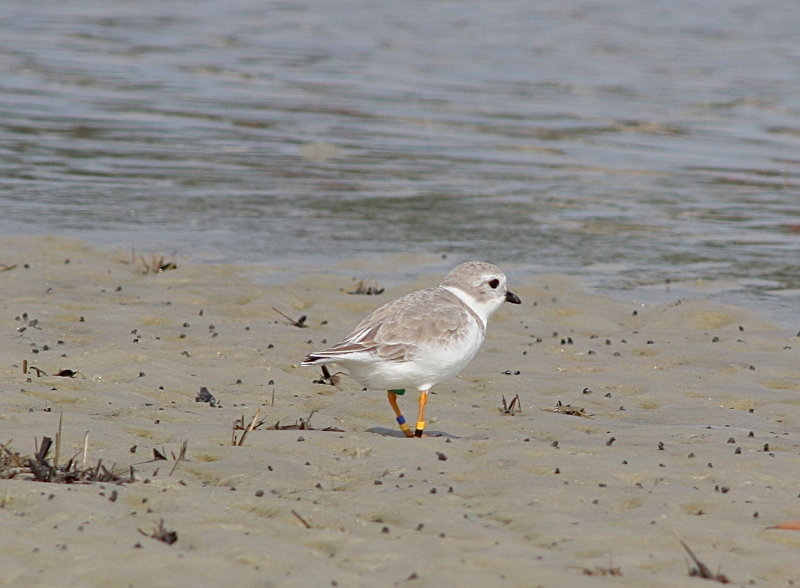5025 - Piping Plover