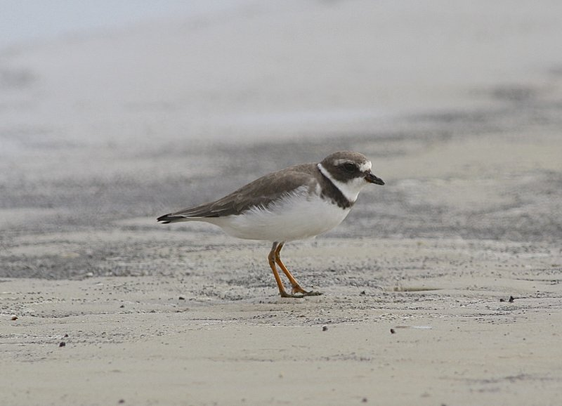 4822 - Semipalmated Plover