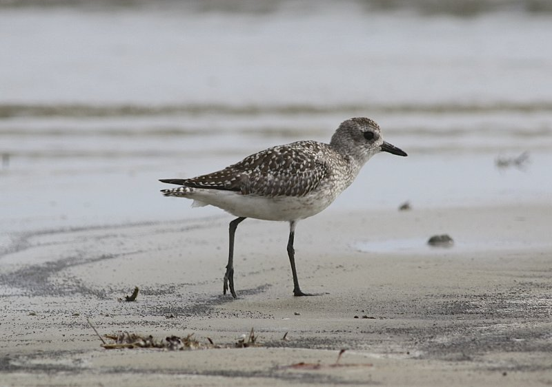 4834 - Black-bellied Plover