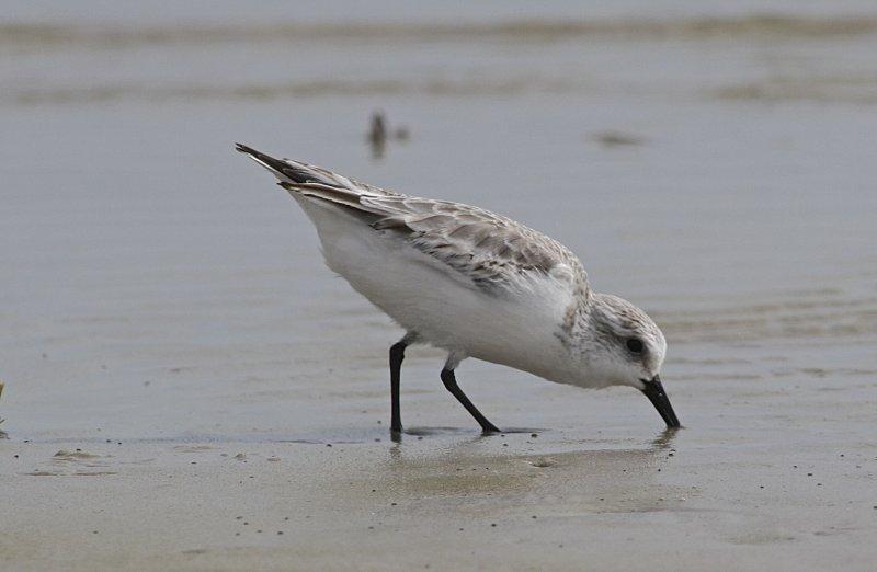 4852 - Sanderling