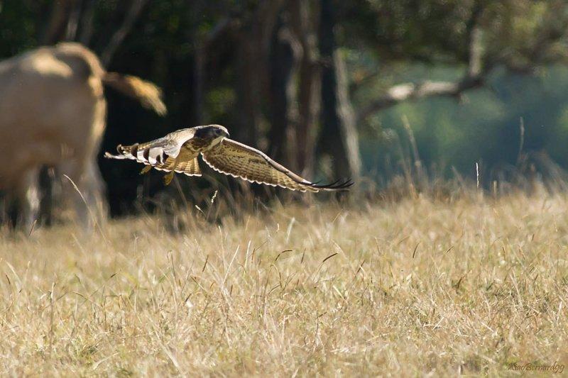 Falls.Buzzard , the Hunter in flight