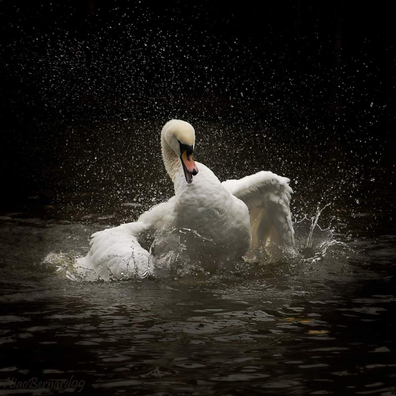Falls.LEICESTERs SWAN