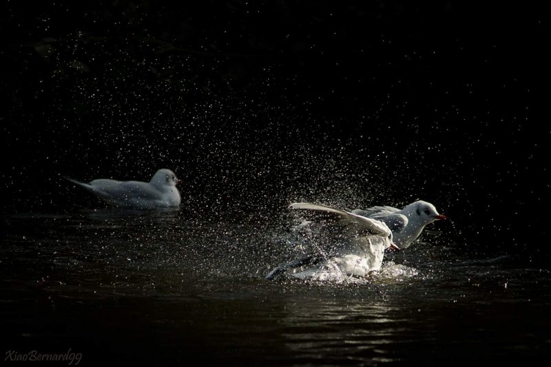 Falls.Leicesters Gulls