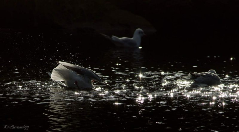 Falls.Leicesters Gulls in the stars