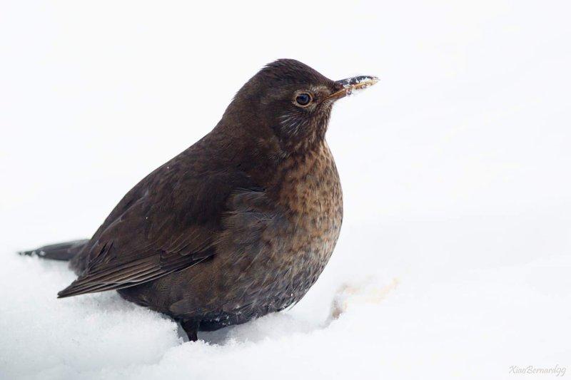 Winter.Mam Blackbird in the snow